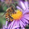 honey bee on aster flower