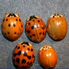 Photo of lady beetles