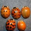 Photo of lady beetles