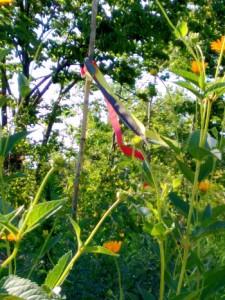 Sunflower Plantings - Native Wellness Garden 2015-2