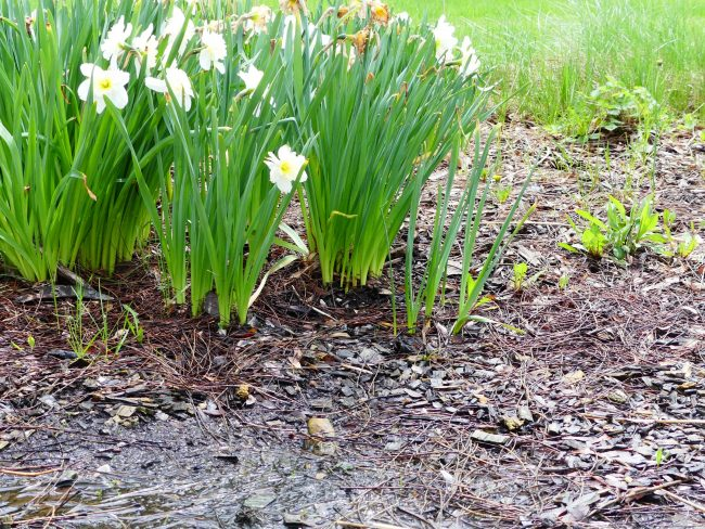 Daffodil flowers next to a flooded spring flower bed.