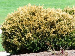 Boxwood bush with winter burn