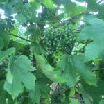 Fruit clusters on Grape vine can easy be smothered by leaf growth in late summer.