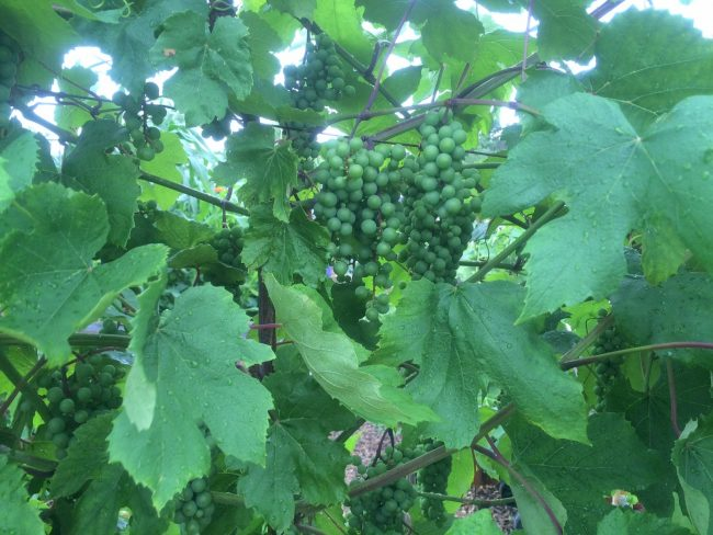 Fruit clusters on Grapevine can easy be smothered by leaf growth in late summer.