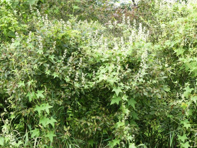 Wild cucumber grows so quickly it can completely cover bushes and trees.