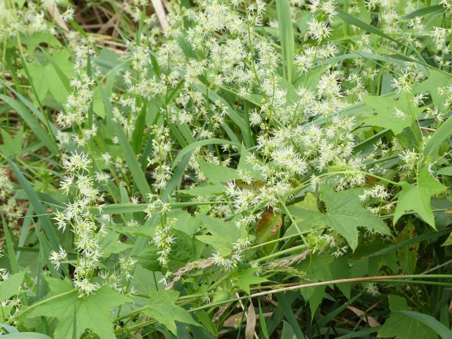 Wild cucumber is a vine with 5 point leaves and white flowers. The white flowers grow into seed pods with spines.
