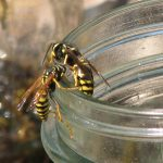 Look closely at a yellowjacket and you will see hairless bodies with alternating yellow and black bands on their bodies.
