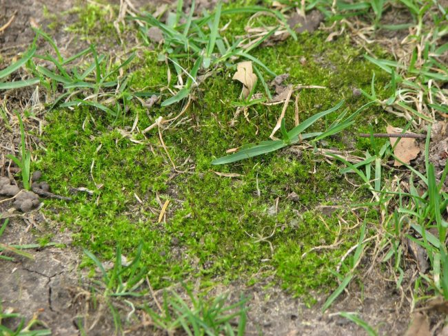 Moss is a common problem in spring lawns.