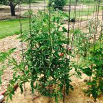 Large tomato plant in a cage made of concrete reinforcement mesh